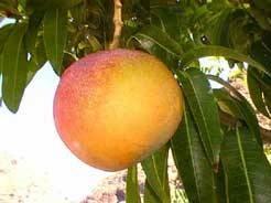 Mangosorbetijs zonder ijsmaakmachine recept